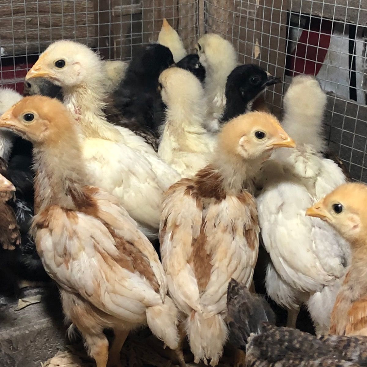 McMurray Hatchery Blog   Brooding Fall Chicks in an Outdoor Brooder