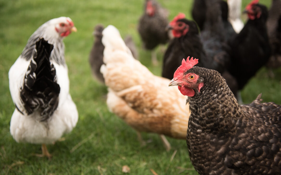 Gail Damerow Discusses How to Tell When a Chicken Is Sick
